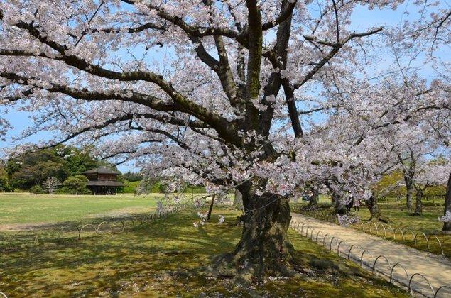 【桜・見ごろ】岡山後楽園
