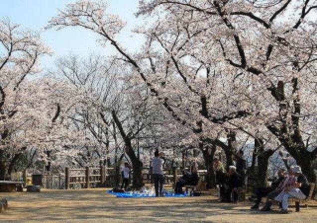 【桜・見ごろ】虎渓公園