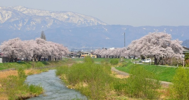 【桜・見ごろ】白水川堤防