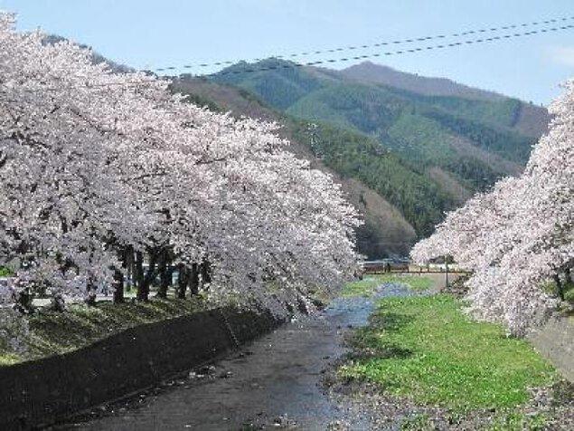 【桜・見ごろ】釜石市桜木町小川川沿い