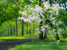 【花・見ごろ】国営武蔵丘陵森林公園 ヤマユリ