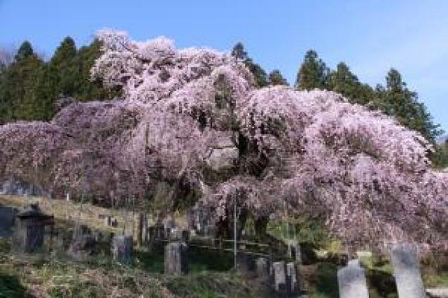 【桜・見ごろ】本久寺のシダレザクラ