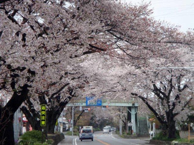 【桜・見ごろ】日光街道桜並木