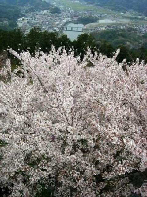 【桜・見ごろ】冨士山公園