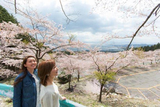 【桜・見ごろ】びわ湖バレイ