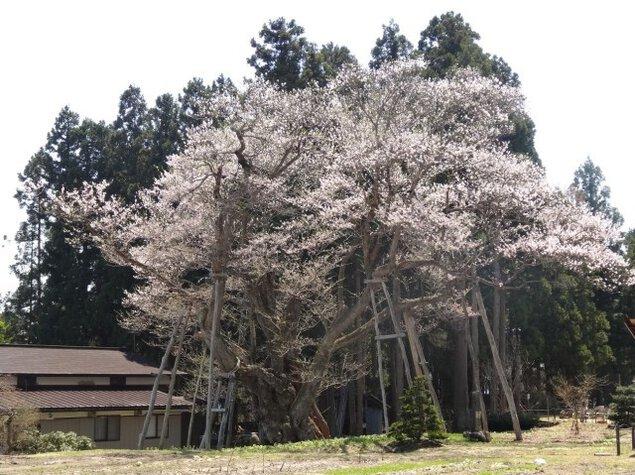【桜・見ごろ】草岡の大明神ザクラ