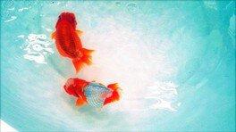 大人が楽しむ金魚まつりvol.2