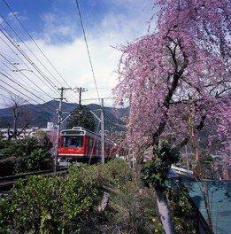 大平台のしだれ桜