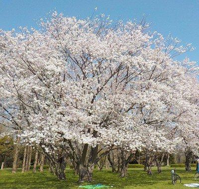 「水元公園の桜」のお花見(葛飾)