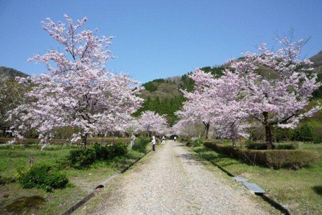 【桜・見ごろ】石川県農林総合研究センター林業試験場樹木公園