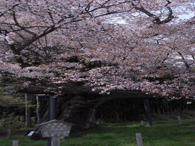 【桜・見ごろ】西山辰街道の大桜