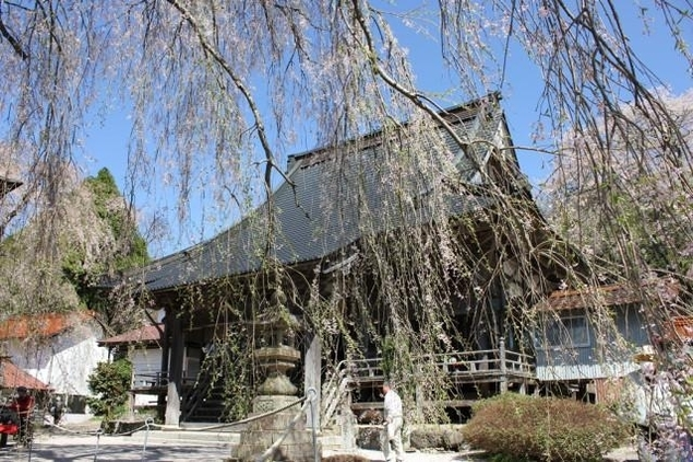 【桜・見ごろ】円正寺