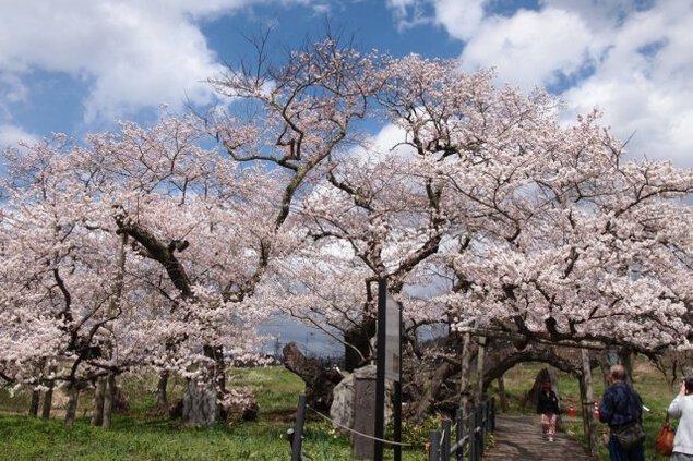 【桜・見ごろ】石部桜
