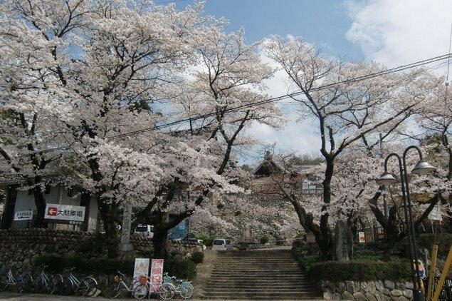 【桜・見ごろ】関善光寺