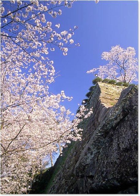 【桜・見ごろ】延岡城跡公園