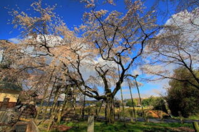 【桜・見ごろ】大藪のしだれ桜