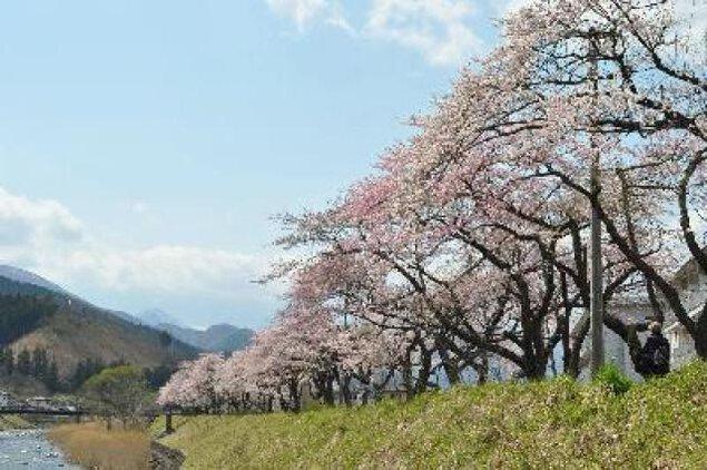 【桜・見ごろ】県立釜石病院から釜石高校周辺