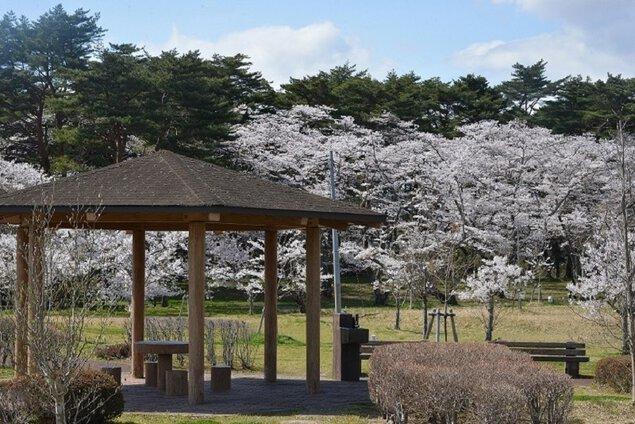 大衡中央公園の桜