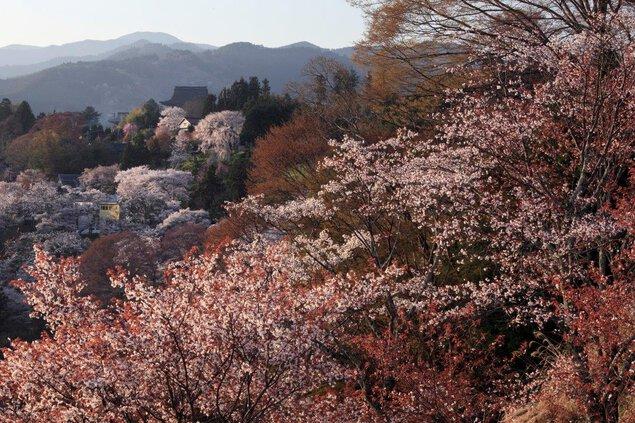 吉野山(下千本)の桜