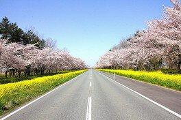 桜と菜の花のコントラストが春らしい