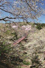 駿河平自然公園の桜