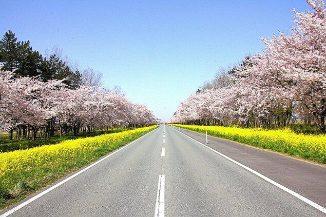桜と菜の花ロードの桜