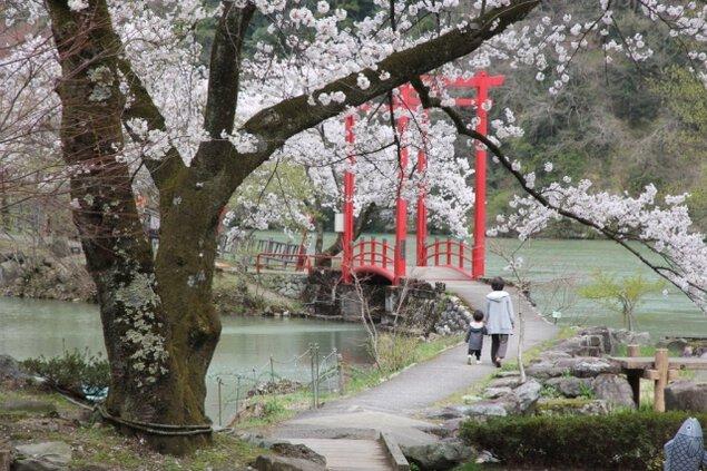 【桜・見ごろ】庄川水記念公園