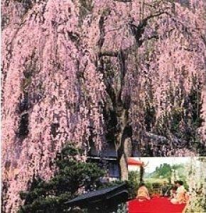 【桜・見ごろ】喜多家しだれ桜