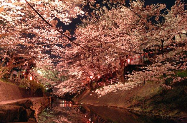 【桜・見ごろ】吉田川