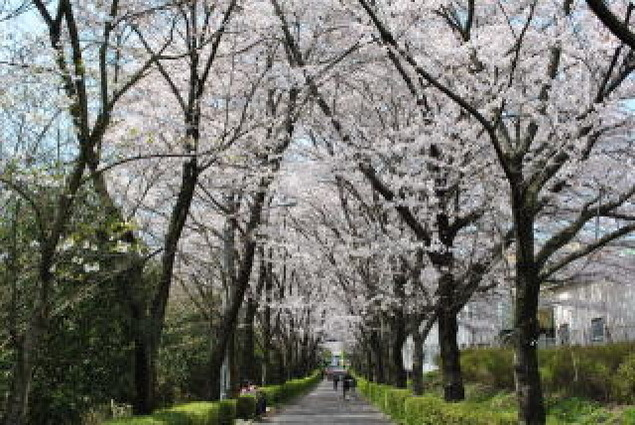 【桜・見ごろ】陶彩の径 桜並木