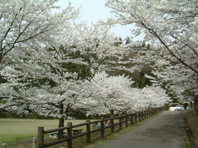【桜・見ごろ】しらさぎ森林公園