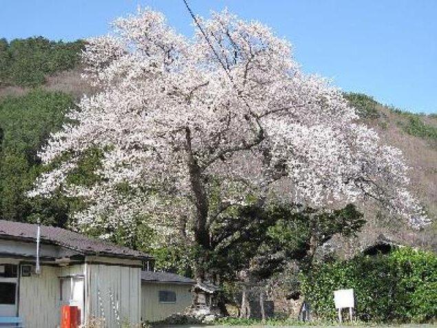 【桜・見ごろ】上栗林の桜