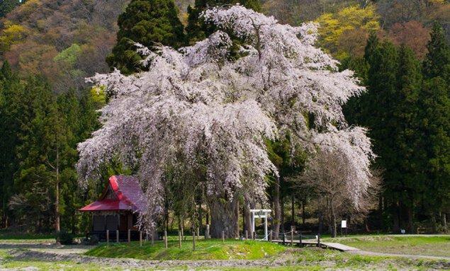 【桜・見ごろ】おしら様の枝れ桜