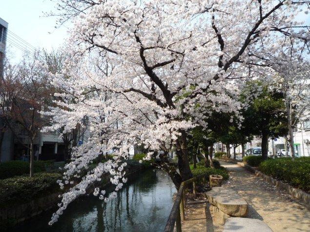 【桜・見ごろ】西川緑道公園