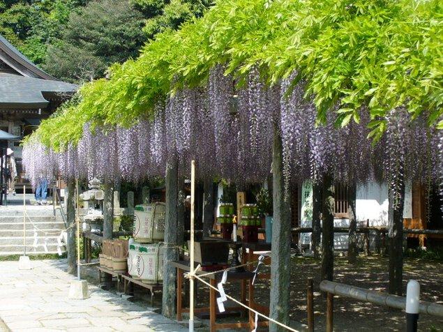 筑紫野市祭二日市温泉藤まつり<中止となりました>