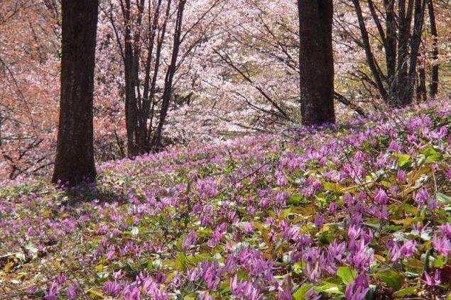 【花・見ごろ】大林ふるさとの山 カタクリさくら