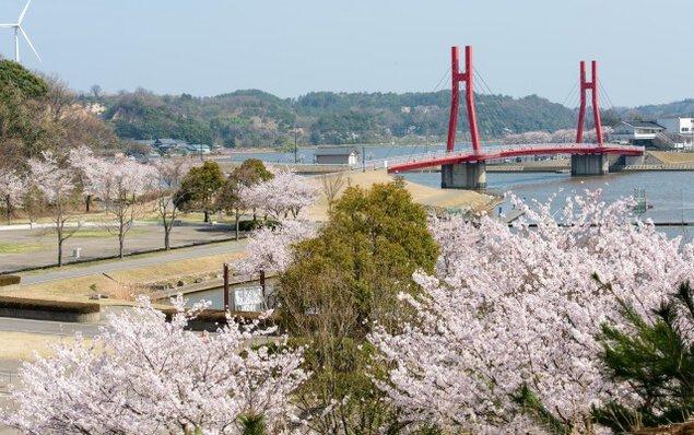 【桜・見ごろ】北潟湖畔