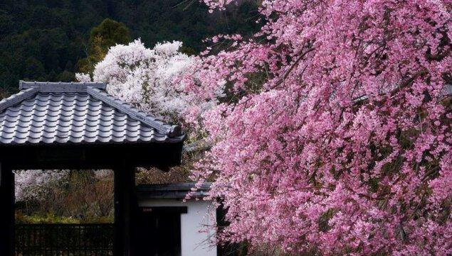 【桜・見ごろ】西教寺