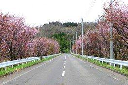 【桜・見ごろ】樹海ライン沿いのベニヤマザクラ