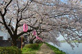 古利根川堤の桜