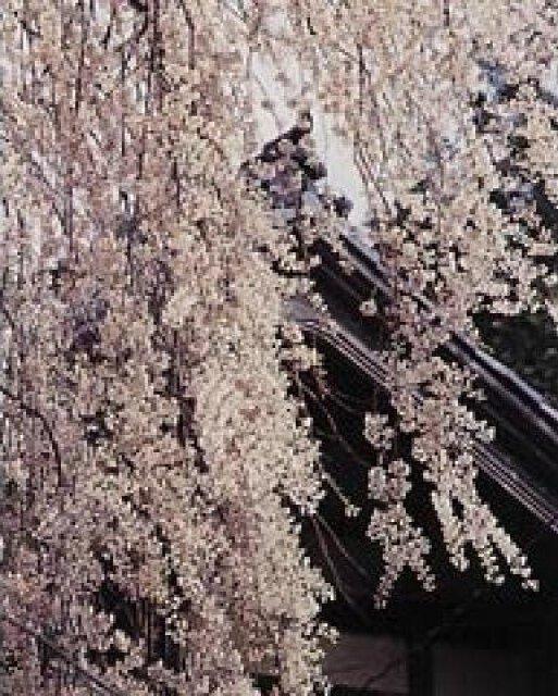 【桜・見ごろ】浄蓮寺のシダレザクラ