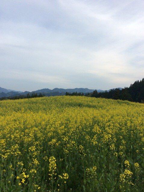 【花・見ごろ】平石農場菜の花畑