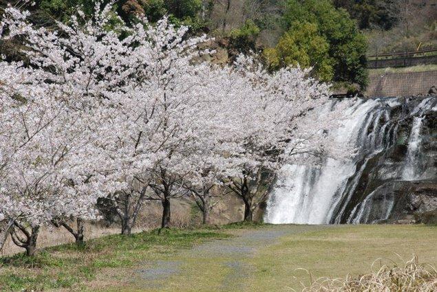 【桜・見ごろ】龍門の滝(滝水辺公園)