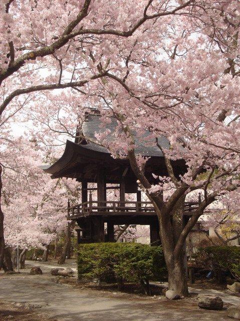 【桜・見ごろ】深叢寺