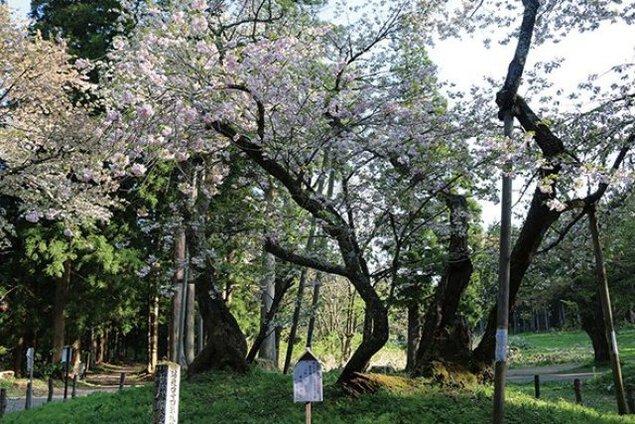 【桜・見ごろ】大鹿桜