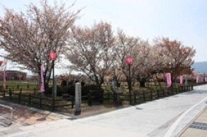 【桜・見ごろ】揖斐二度ザクラ