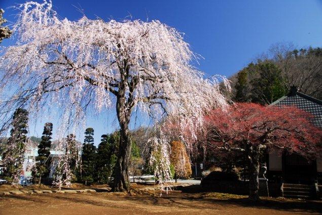 【桜・見ごろ】西願寺の枝垂桜