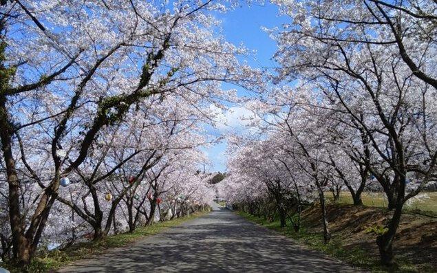 【桜・見ごろ】山室桜並木(愛称:あらた坂)