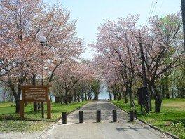 【桜・見ごろ】十和田湖大川岱園地