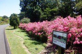 【花・見ごろ】国営武蔵丘陵森林公園 サルスベリ